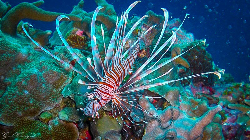Lion Fish, seen while diving on Bohol Philippines
